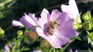 04-04-Malvenlanghornbiene