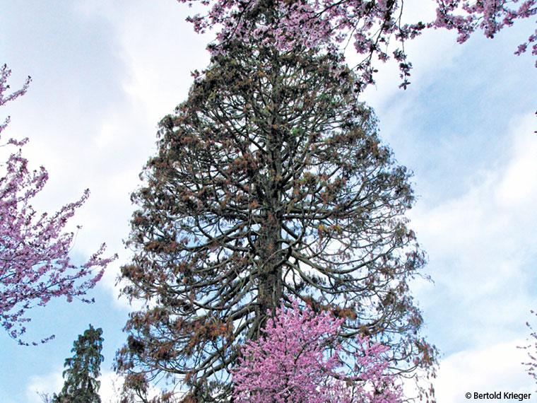 Baum Wiehre